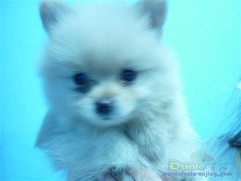 Pom Pom Top Atasan Anak Lucu jual anjing belgian malinois jual anakan belgian malinois