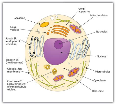cross section of a cell membrane both cells biorganelles