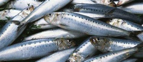 cucinare le sardine fresche cucina 187 archive 187 il pesce povero alla toscana