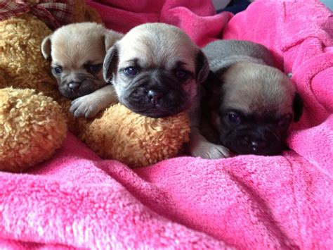 pug cross chihuahua puppies for sale chug puppies pug cross chihuahua hitchin hertfordshire pets4homes