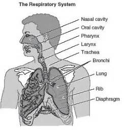 Respiratory System Passnownow