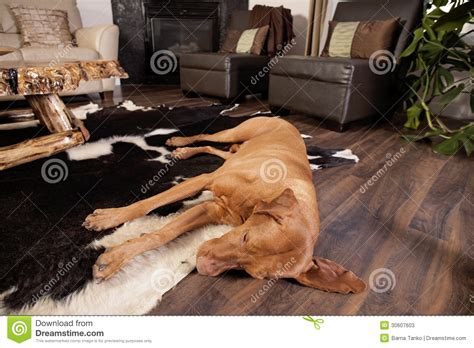 Living Room Flooring For Dogs Tired Stock Photos Image 30607603