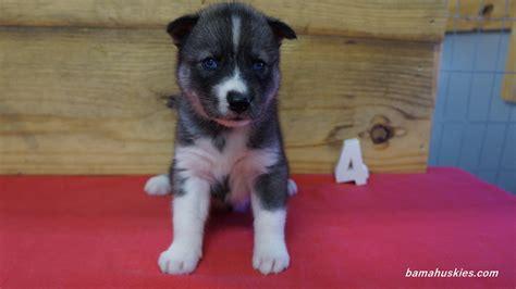 4 week puppy s husky puppies 4 weeks 8 3 16 siberian husky puppies for sale