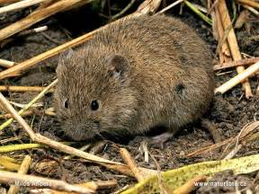 Image result for Common Vole