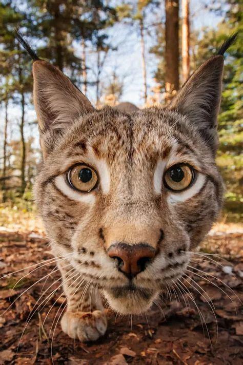 Tshirt Amazing Sumatera stunning calico kitten 20th june 2016 we cats and