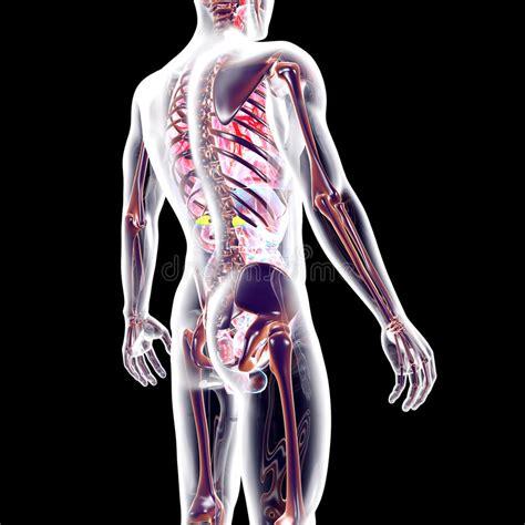 interno corpo umano sembri il corpo umano interno illustrazione di stock