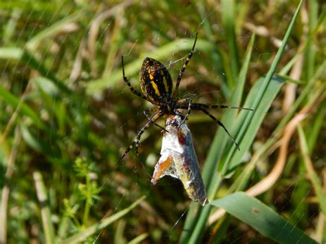 Garden Spider Habits Yellow Garden Spider Habitat 28 Images Black And