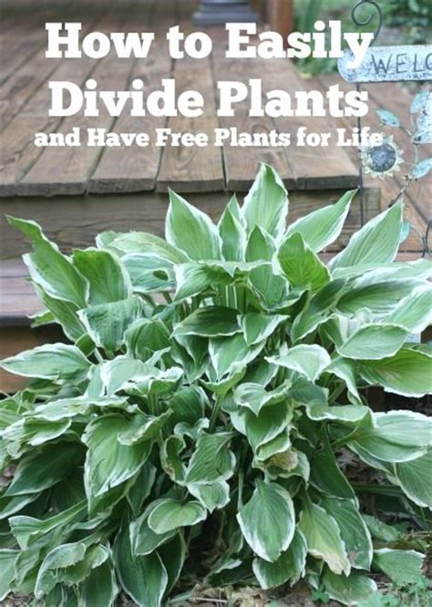 easily divide hosta and daylilies and have free plants for life gardening plants and tips