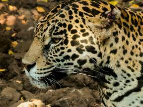 Jaguar Panthera Jaguar Panthera Onca Flickr Photo