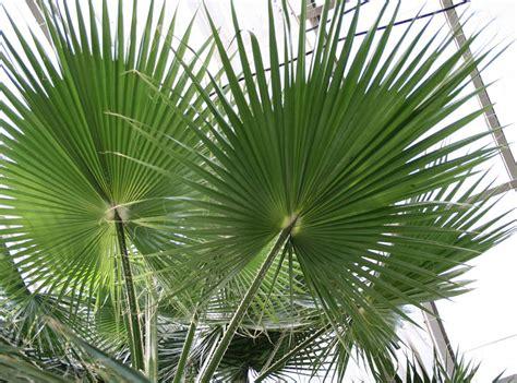 fan palm care fan palm tree pictures