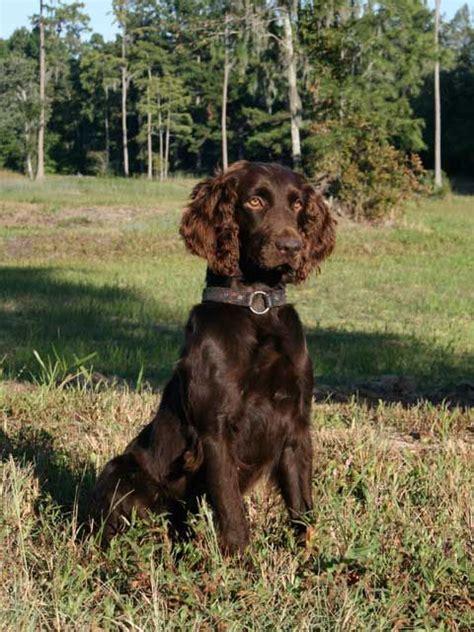 springer spaniel puppies sc 25 best ideas about boykin spaniel on boykin spaniel puppies