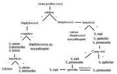 gram negative cocci identification flowchart gram negative bacilli identification flowchart www