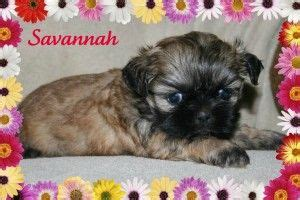 shih tzu and furbaby rescue ohio new shih tzu puppy for sale in ohio what a sweet chocolate furbaby with a black