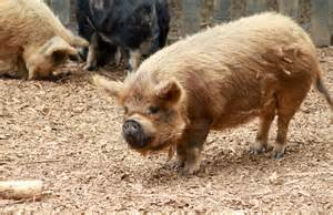file kunekune pig at hamilton zoo jpg wikimedia commons