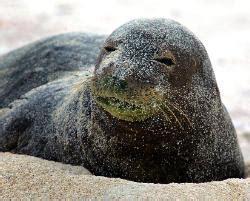 caribbean monk seal facts habitat pictures  diet
