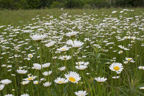 List Of Flowers by Minneflora Ox Eye Daisy Chrysanthemum Leucanthemum