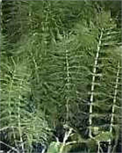 paardenstaarten in de tuin heermoes akkerpaardenstaart