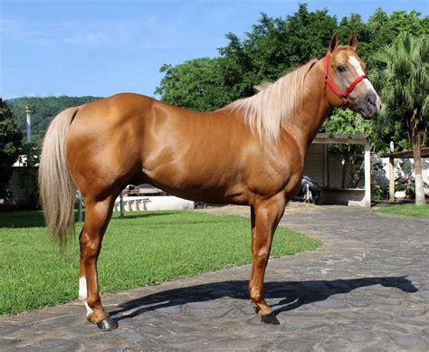 caballos sementales cuarto milla sementales premium stallionmexsearch