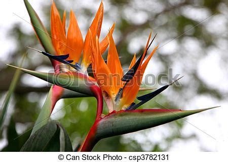 fiore uccello paradiso archivi fotografici di fiore uccello paradiso uccello