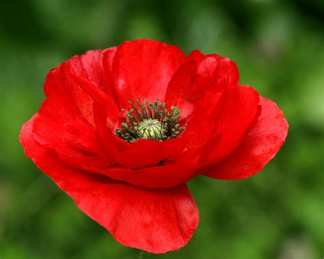 red poppy of remembrance pneps visual arts