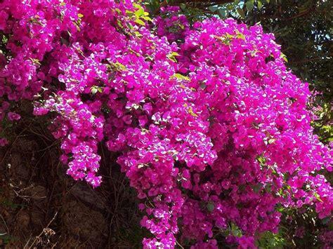 bouganville fiore ricanti da esterno ricanti caratteristiche delle