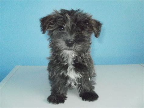 westie yorkie mix puppies for sale terrier x west highland terrier puppy spalding lincolnshire pets4homes