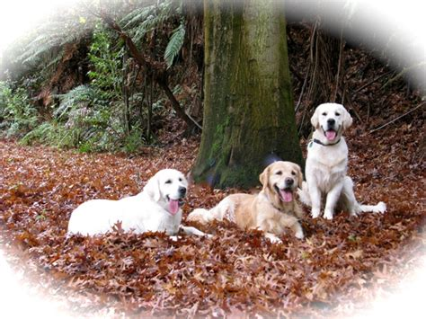 golden retriever breeders nz golden retriever breeders island new zealand photo