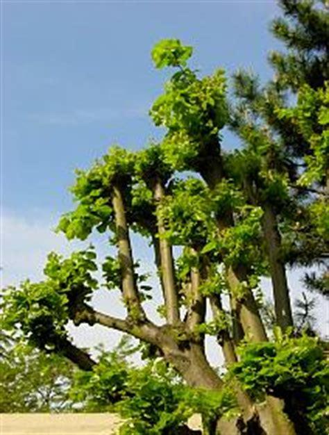 Comment Tailler Un Eucalyptus by Taille Des Arbres