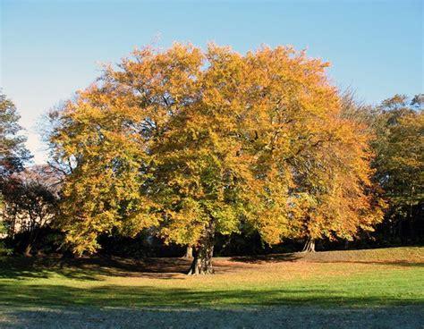 oak tree autumn autumnal trees pinterest