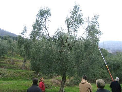 potatura a vaso potatura olivo tecniche e periodo per potare l olivo