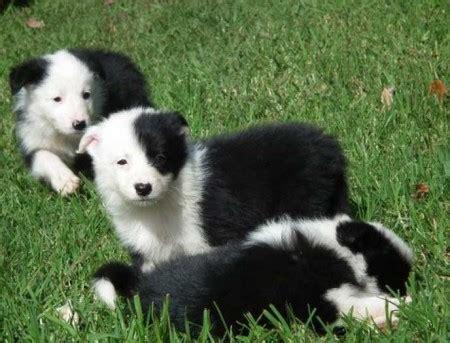 smartest breeds list top 10 smartest breeds pet photos gallery 5nbqmoebvx