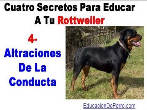 rottweiler montreal como educar a un rottweiler