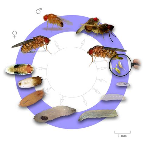 fruit fly cycle span cycle of fruit fly nanovina vn
