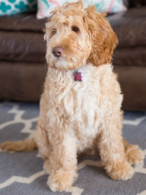 australian labradoodle puppy australian labradoodle puppies for sale shipping availablecute labradoodles