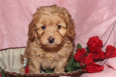 mini labradoodle puppies for sale in pa 1000 ideas about labradoodle puppies for sale on australian labradoodle