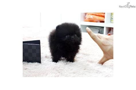 pomeranian puppies jackson ms micro teacup pomeranian breeder breeds picture