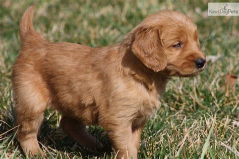 golden retriever rescue louisville golden retriever labrador mix puppies for sale florida breeds picture