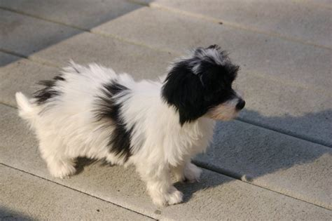 havanese puppies for sale in ri havanese breeders in rhode island royal flush havanese