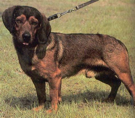 Dogs Info: Alpine Dachsbracke