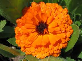 file orange flower jpg wikipedia