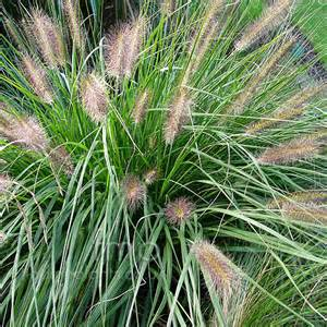 plant pictures pennisetum alopecuroides woodside fountain grass