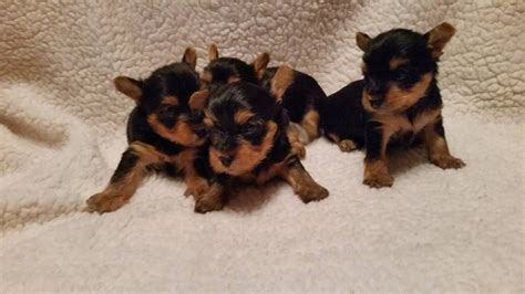 gumtree yorkie puppies for sale yorkie pups for sale glasgow area