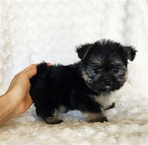 teacup teddy puppies teacup morkie puppy for sale teddy iheartteacups