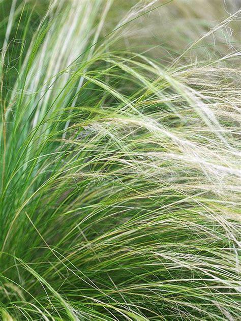 17 top ornamental grasses grasses mexicans and ornamental grasses