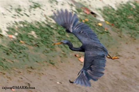 Helm Anak Ntc Bird Season sighting of the pacific reef egret bird ecology study