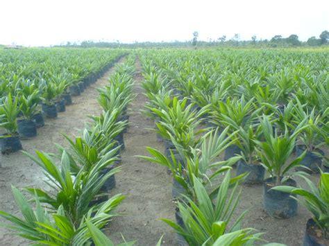 Bibit Kambing Di Bengkulu bibit benih unggul kelapa sawit di bengkulu petani