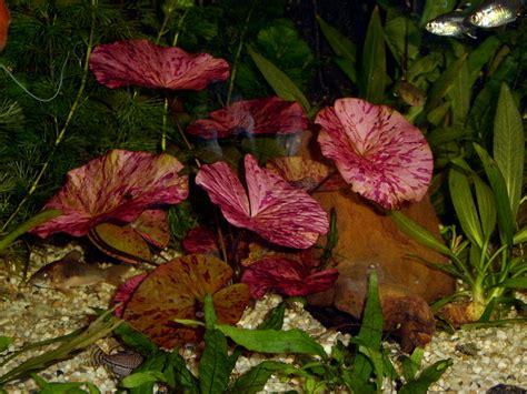 lotus tiger tiger lotus nymphaea zenkeri low light aquarium