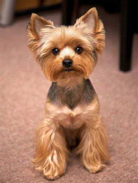 how to cut my silky terriers hair cute yorkie haircuts