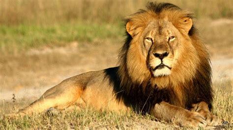 imagenes de leones fuertes la mirada del le 243 n edicion impresa abc color