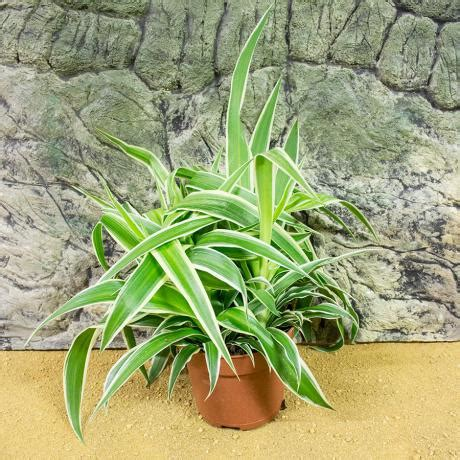 what does spider fitting l shade prorep live plant spider plant chlorophytum comosum